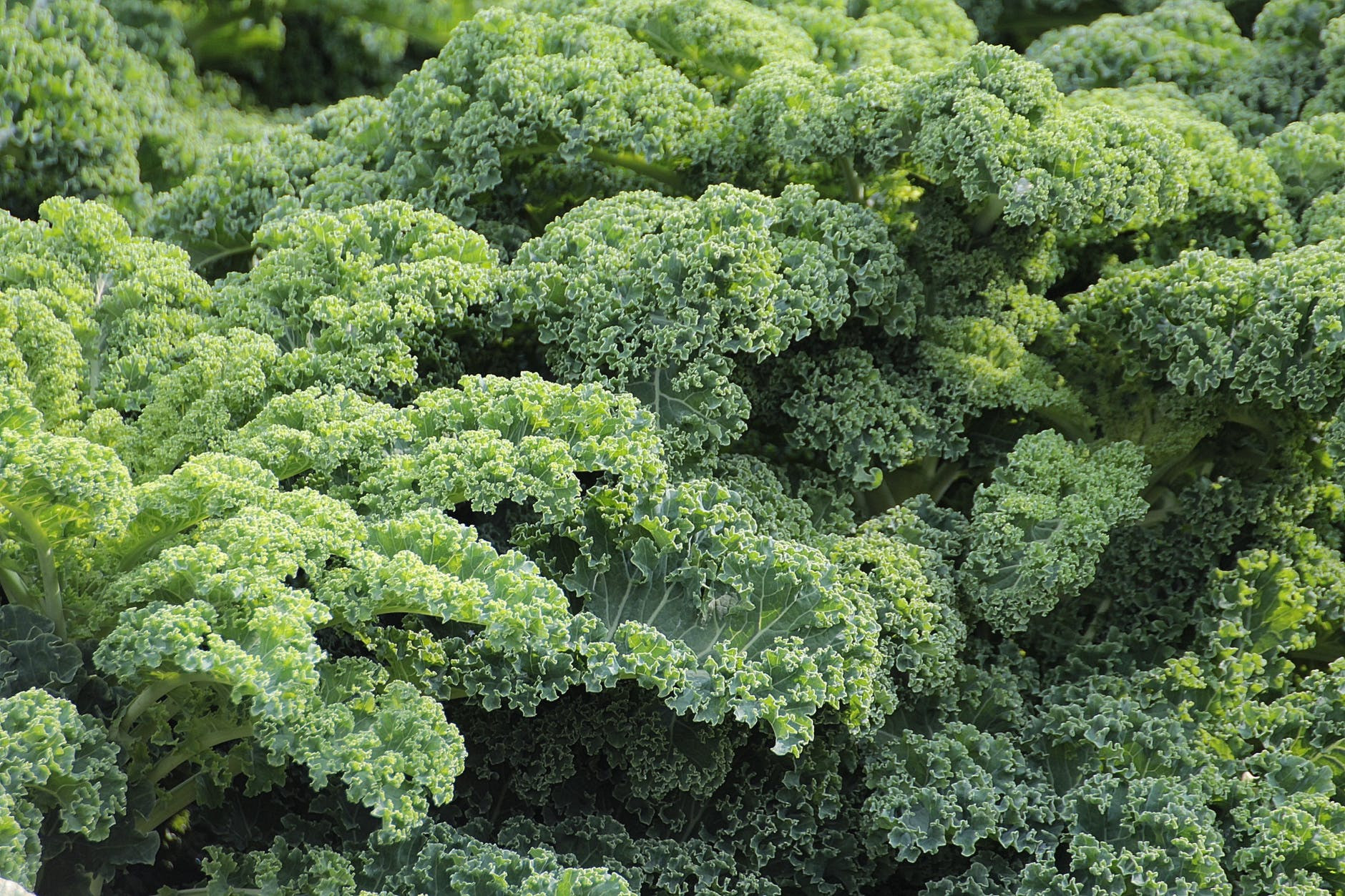 Kale is on the dirty dozen list. It's better to buy organic when it comes to Kale.